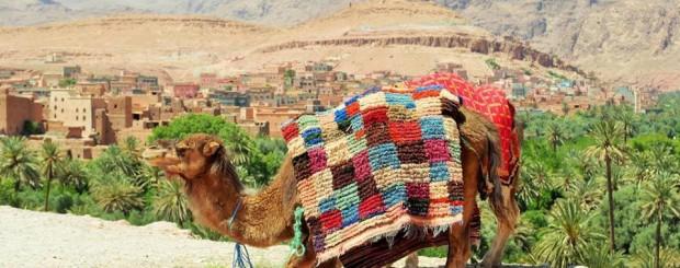 camelo no oásis
